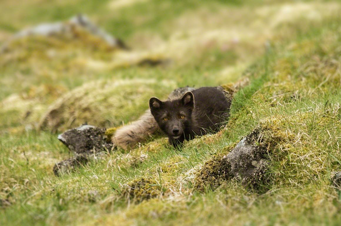 Artic Fox Latrabjarg Iceland